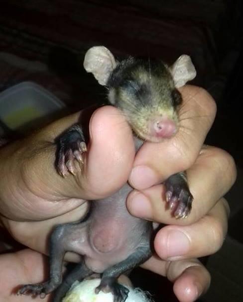 dog-adopts-opossums-baby-orphans-stephanie-maldonado (6)