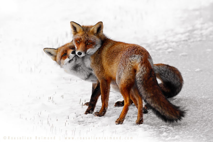 foxy-love-photographer-proves-that-foxes-are-extremely-loving-creatures-pics (10)