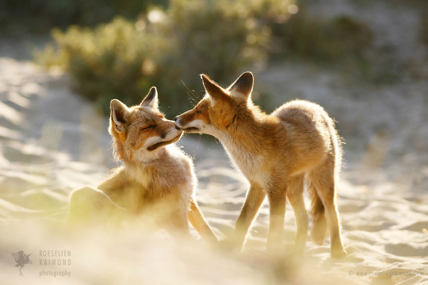 foxy-love-photographer-proves-that-foxes-are-extremely-loving-creatures-pics (11)