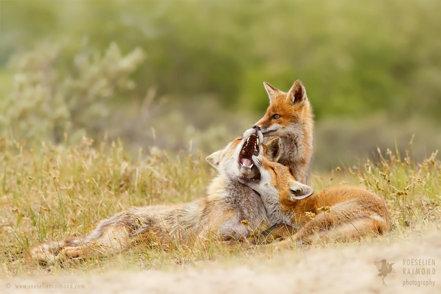 foxy-love-photographer-proves-that-foxes-are-extremely-loving-creatures-pics (12)