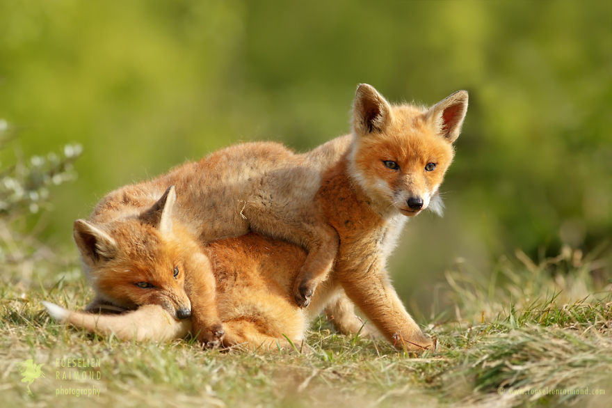 foxy-love-photographer-proves-that-foxes-are-extremely-loving-creatures-pics (13)