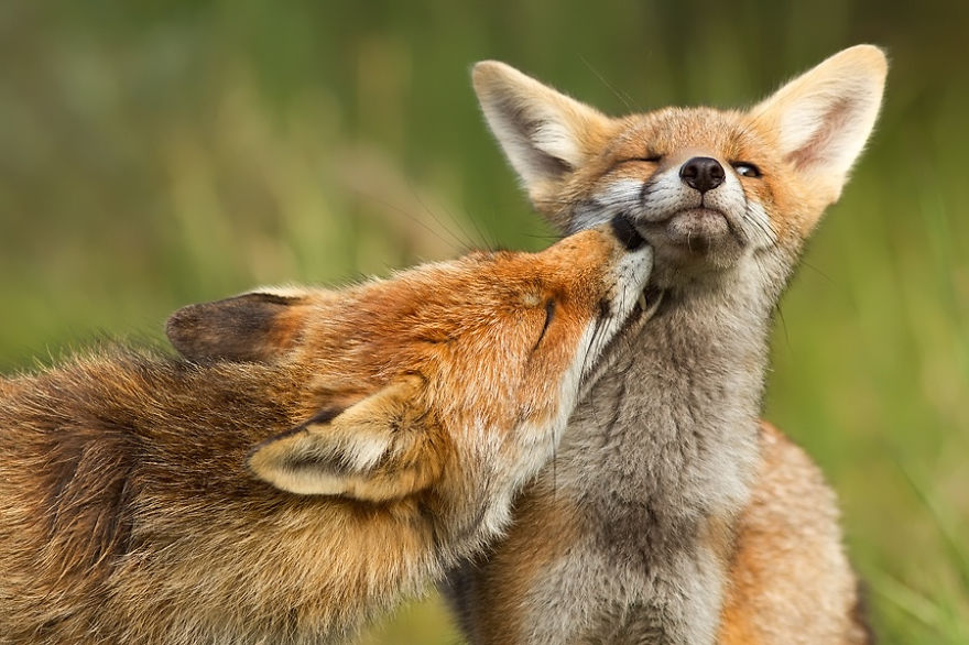 foxy-love-photographer-proves-that-foxes-are-extremely-loving-creatures-pics