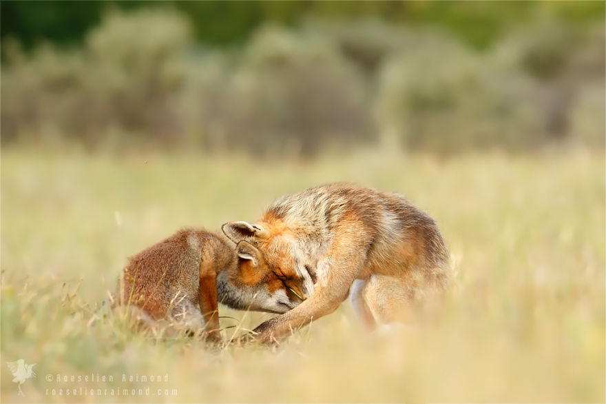 foxy-love-photographer-proves-that-foxes-are-extremely-loving-creatures-pics (7)