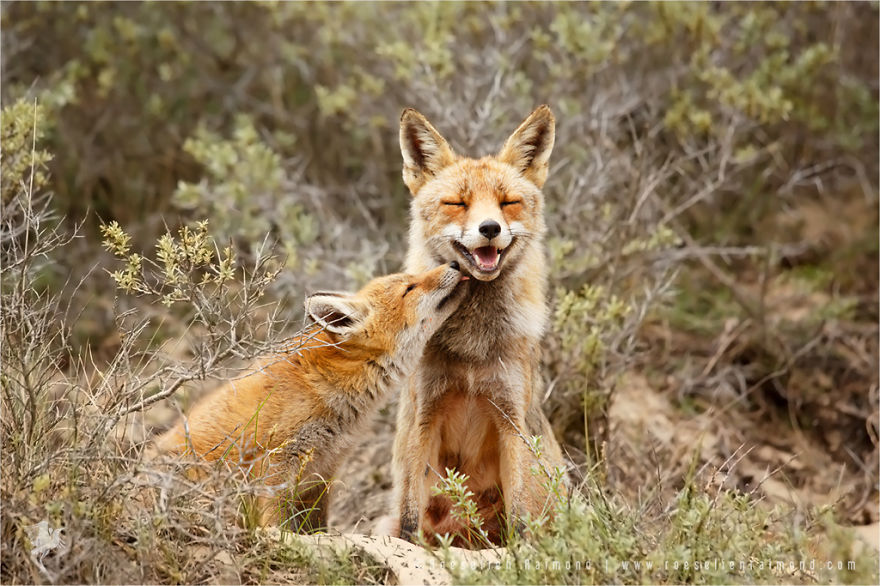 foxy-love-photographer-proves-that-foxes-are-extremely-loving-creatures-pics (8)