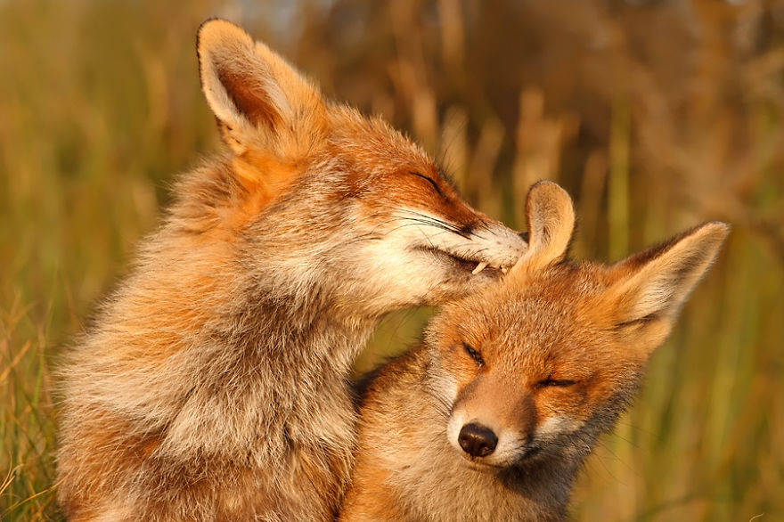 foxy-love-photographer-proves-that-foxes-are-extremely-loving-creatures-pics (9)