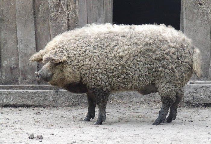 mangalitsa-furry-pigs-hairy-sheep-act-like-dogs (2)