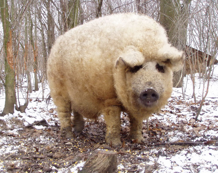 mangalitsa-furry-pigs-hairy-sheep-act-like-dogs