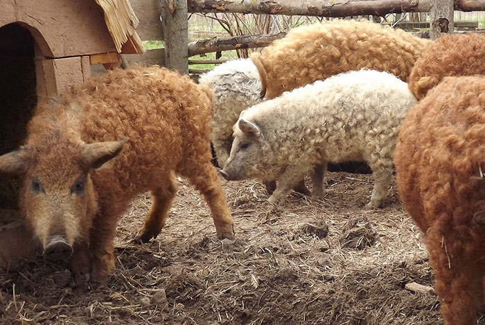 mangalitsa-furry-pigs-hairy-sheep-act-like-dogs (6)