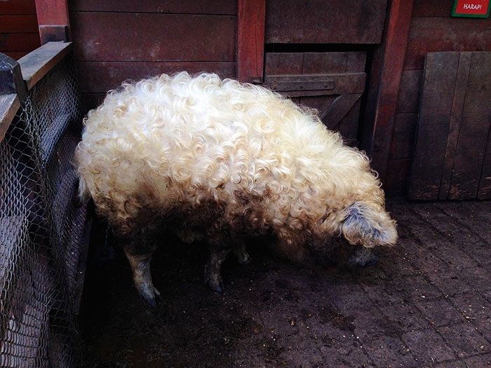 mangalitsa-furry-pigs-hairy-sheep-act-like-dogs (7)
