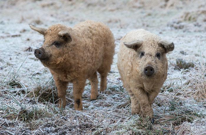 mangalitsa-furry-pigs-hairy-sheep-act-like-dogs (8)