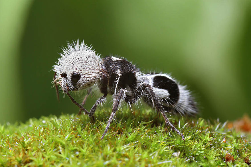 panda-ant-euspinolia-militaris-cow-killer-wasp