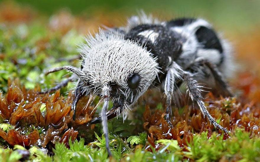 panda-ant-euspinolia-militaris-cow-killer-wasp-2
