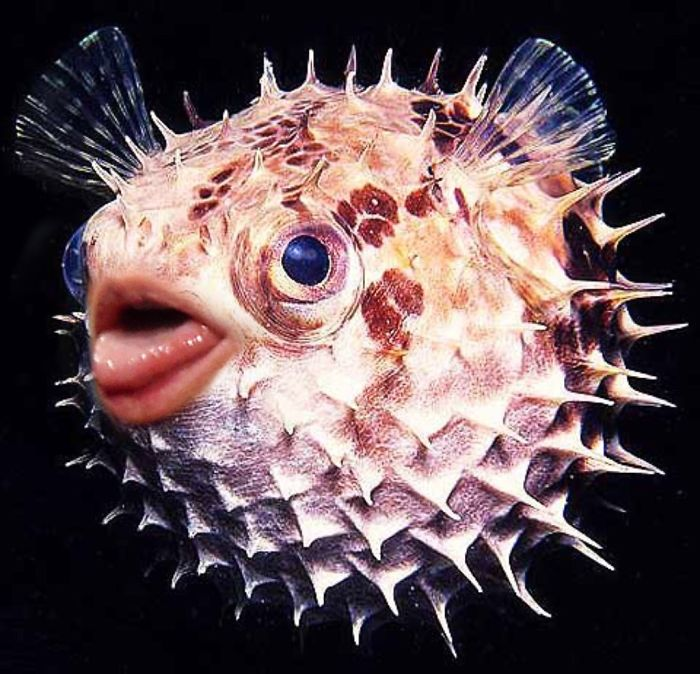 trump-puffer-fish-mouth-photoshop (2)