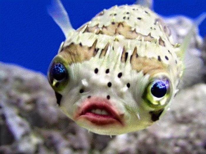trump-puffer-fish-mouth-photoshop (3)