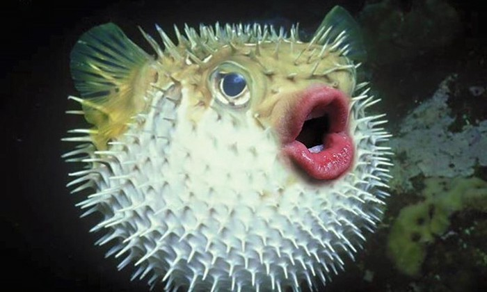trump-puffer-fish-mouth-photoshop