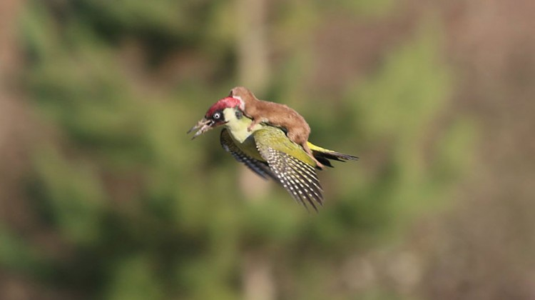 weasel-riding-woodpecker-wildlife-photography-martin-le-may