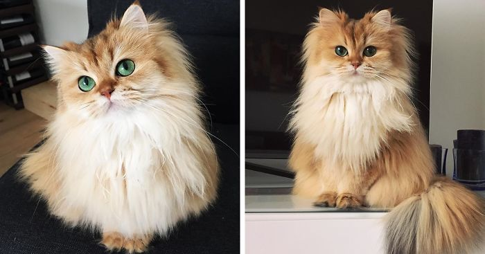 World-Most-Photogenic-Cat-Beautiful-Fluffy-Cat-British-Longhair