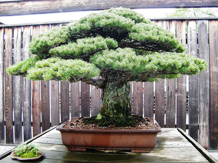 amazing-bonsai-trees-ever (13)