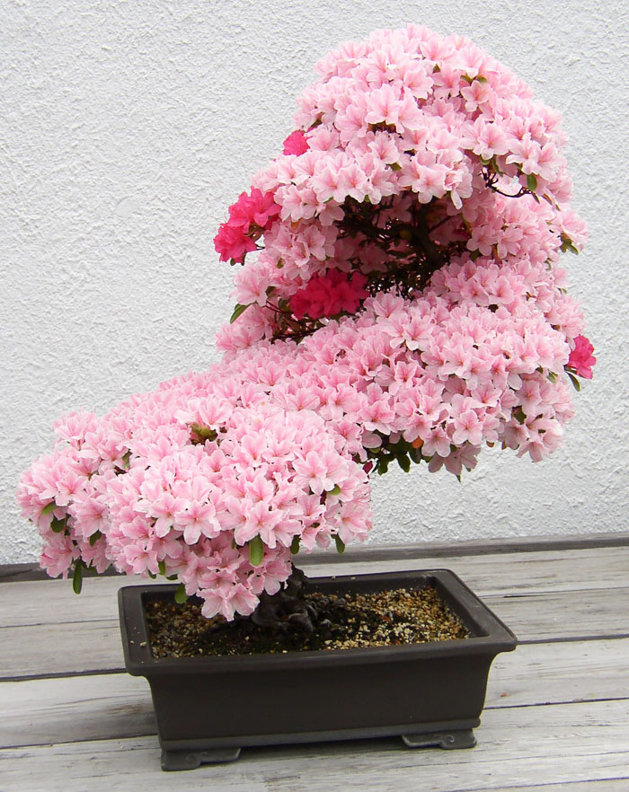 amazing-bonsai-trees-ever (2)