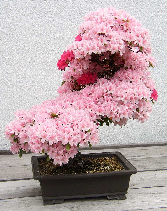 amazing-bonsai-trees-ever (2)