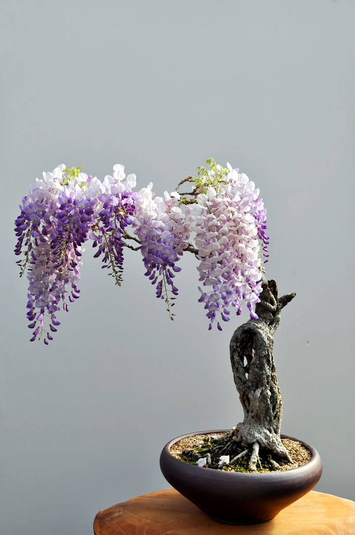 amazing-bonsai-trees-ever (4)