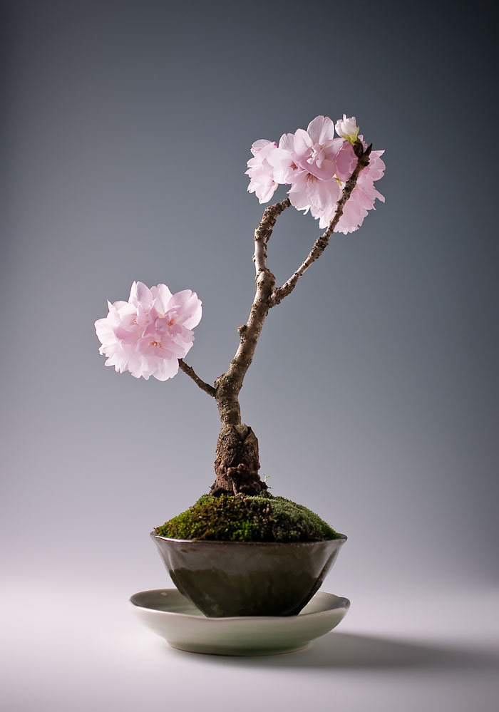 amazing-bonsai-trees-ever (5)