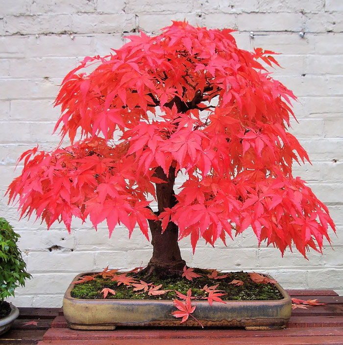 amazing-bonsai-trees-ever (6)