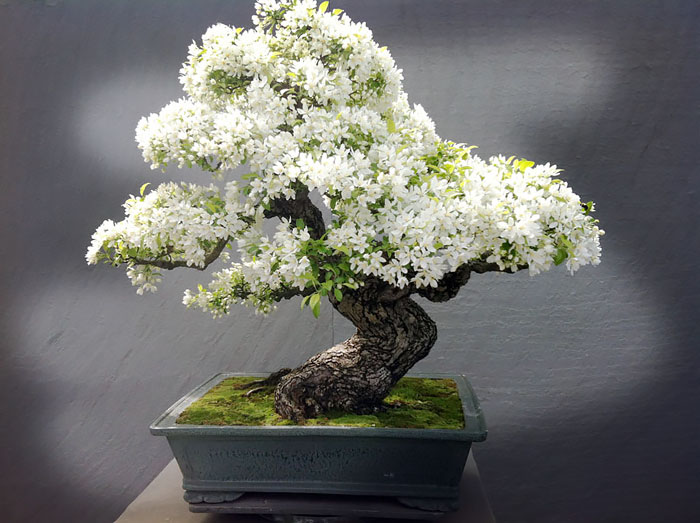 amazing-bonsai-trees-ever (7)