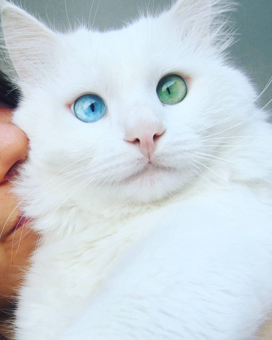 heterochromia-cat-cross-eyed-alos (3)