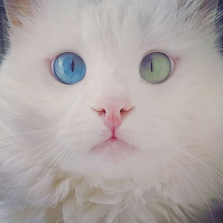 heterochromia-cat-cross-eyed-alos (4)