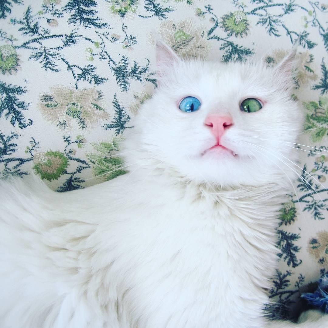 heterochromia-cat-cross-eyed-alos (5)