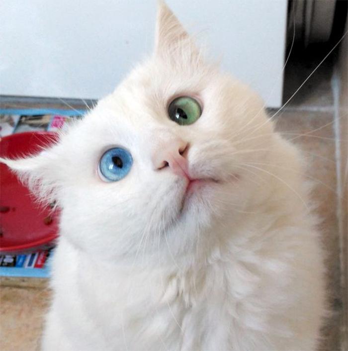 heterochromia-cat-cross-eyed-alos (7)