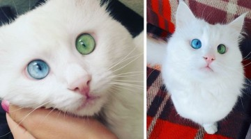 heterochromia-cat-cross-eyed-alos