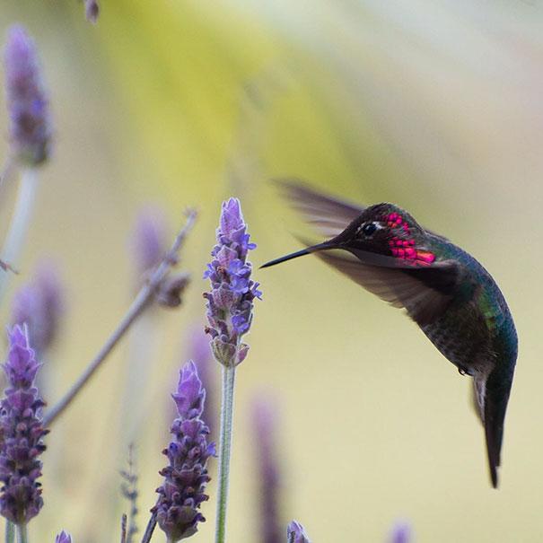 hummingbird-photography-tracy-johnson-california (1)