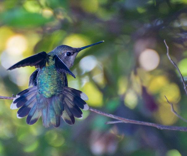 hummingbird-photography-tracy-johnson-california (10)