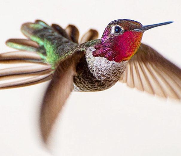 hummingbird-photography-tracy-johnson-california (12)