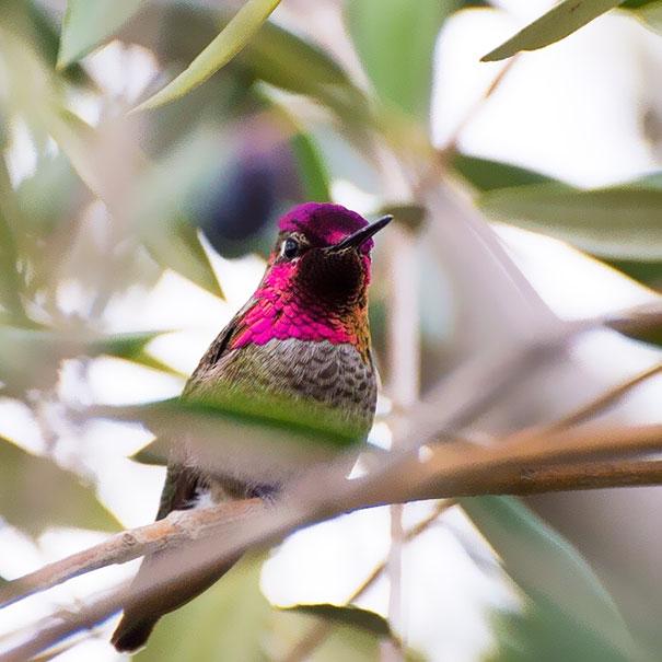 hummingbird-photography-tracy-johnson-california (13)
