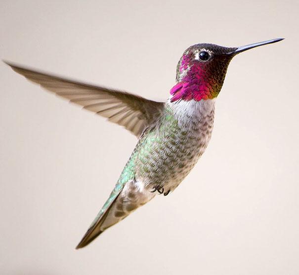 hummingbird-photography-tracy-johnson-california (2)