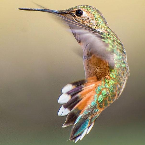 hummingbird-photography-tracy-johnson-california (3)