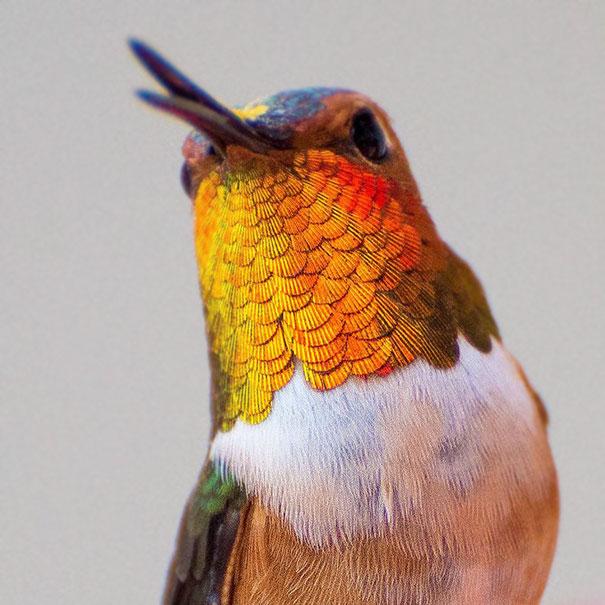 hummingbird-photography-tracy-johnson-california (7)