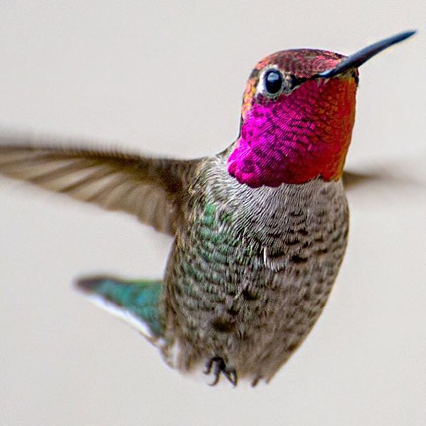 hummingbird-photography-tracy-johnson-california (8)