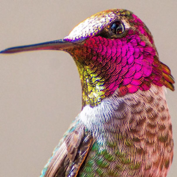 hummingbird-photography-tracy-johnson-california (9)