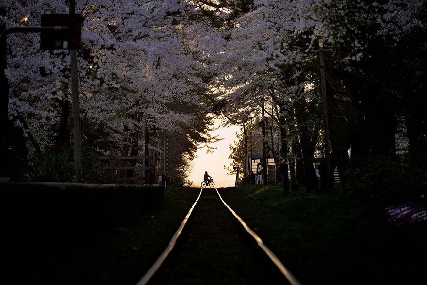 spring-japan-cherry-blossoms-national-geographics-510