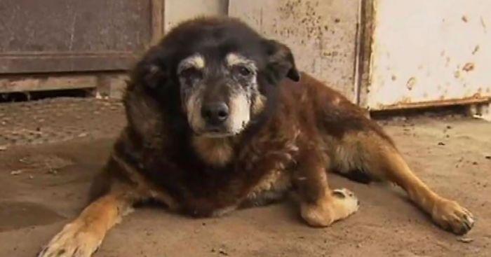 worlds-oldest-dog-dies-age-30-kelpie-maggie