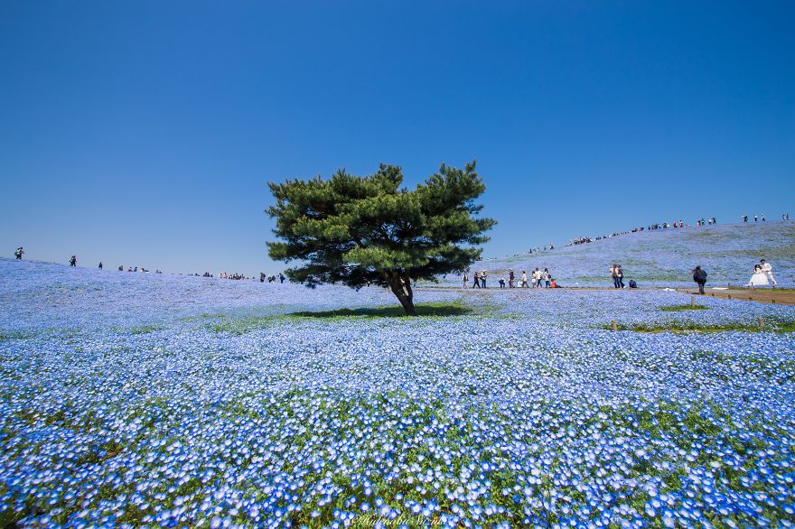 Japan-Hitachi-Seaside-Park (6)