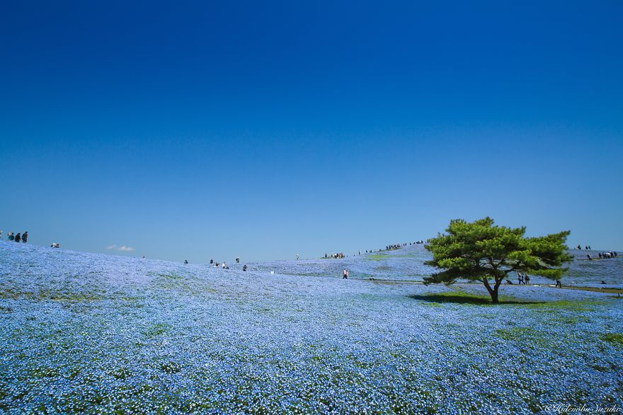 Japan-Hitachi-Seaside-Park (8)