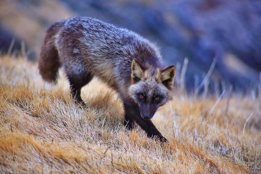 black-silver-fox-10__880
