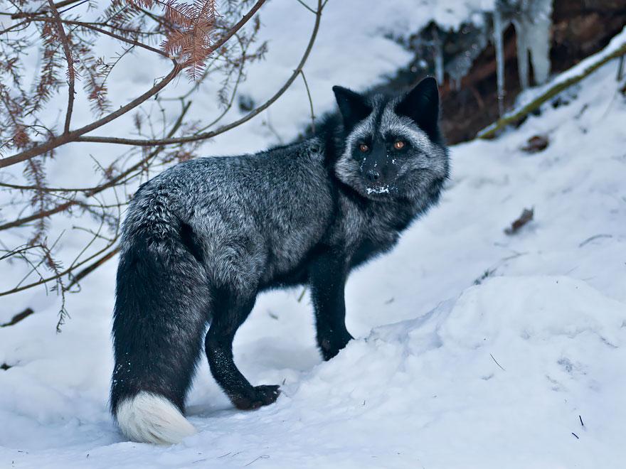 black-silver-fox-28__880