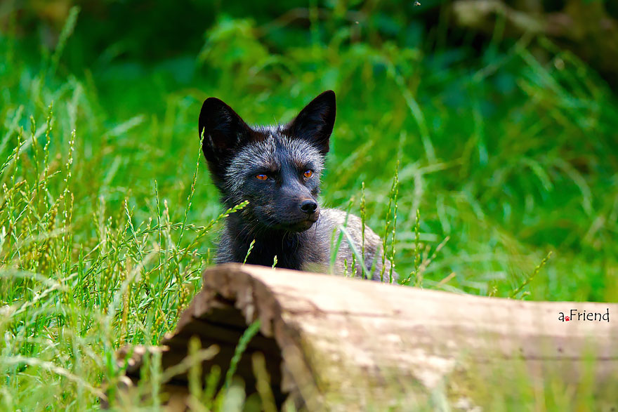 black-silver-fox-29__880