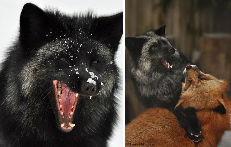 black-silver-fox-31__880